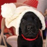 Cucciole labrador retriever con Pedigree ENCI