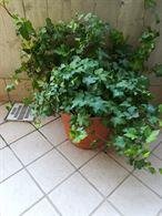 Pianta edera rampicante